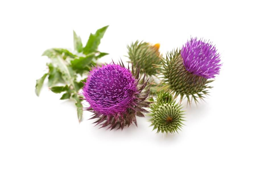 Milk Thistle For Hangovers: Is It A Cure?